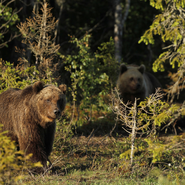 """Two Eurasian Brown Bears"" stock image"