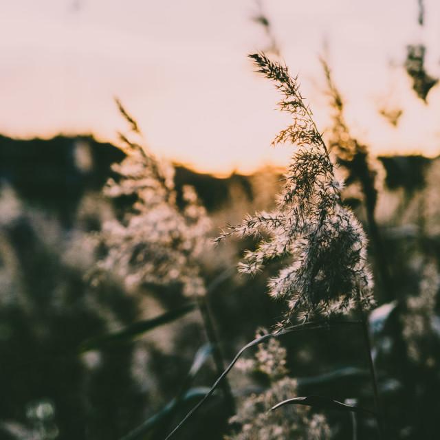 """Sunset reeds"" stock image"