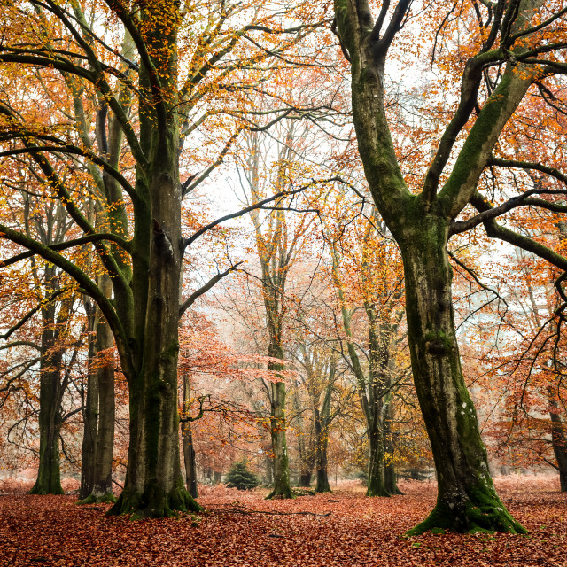 """New Forest in Autumn"" stock image"