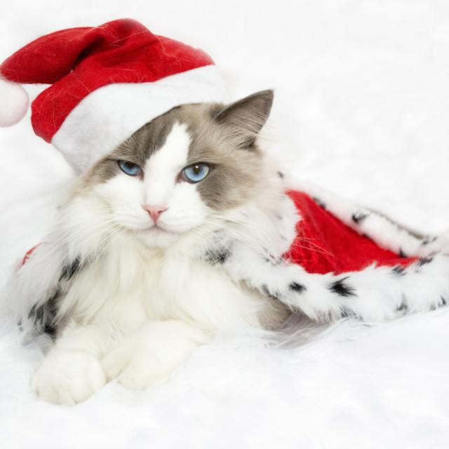 """Christmas Santa Claus Cat"" stock image"