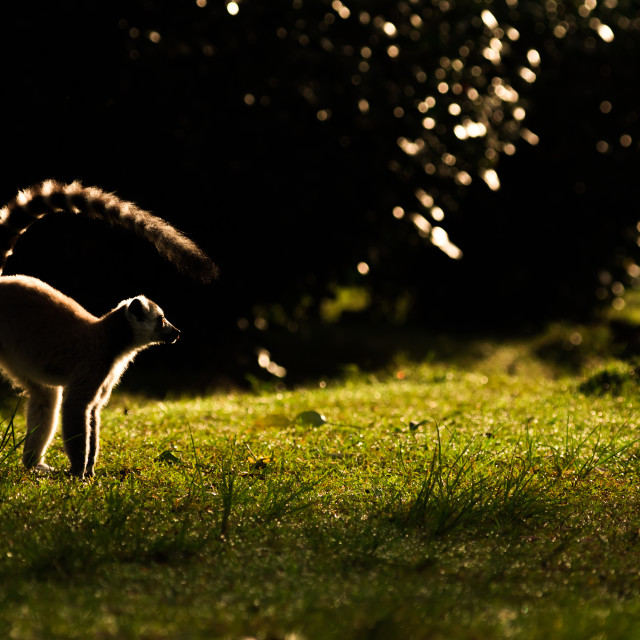"""Ring tailed lemur in morning sunlight, Madagascar"" stock image"