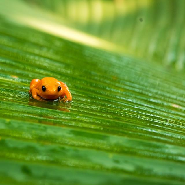 """tomato frog in Madagascar"" stock image"