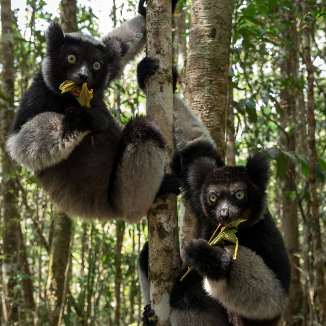 """Two Indri's in rainforest in Madagascar"" stock image"