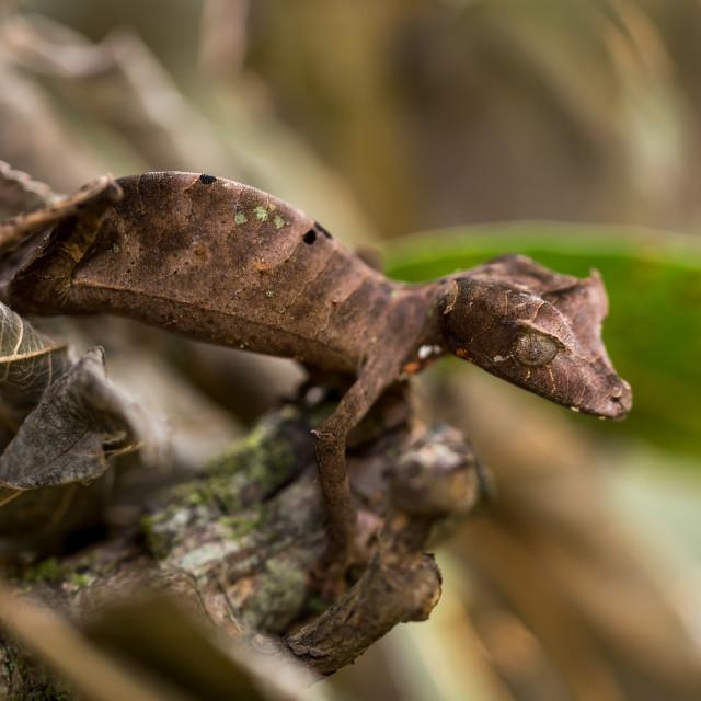 """leaf gecko in Madagascartailed"" stock image"