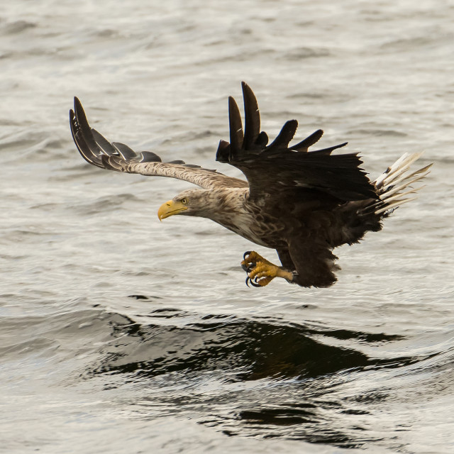 """White Tailed Eagle"" stock image"