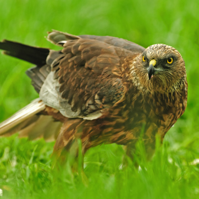 """Male of Marsh Harrier (Circus aeruginosus)"" stock image"