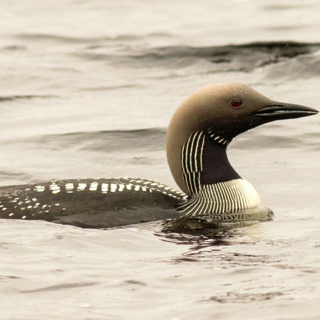 """Black Throated Diver"" stock image"