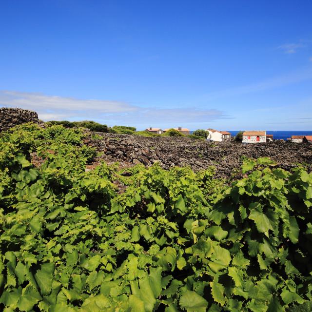 """Pico vineyards"" stock image"