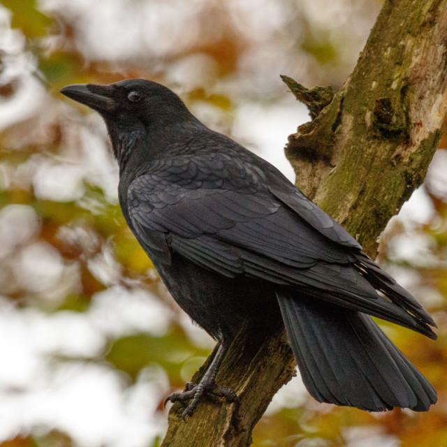 """Crow."" stock image"