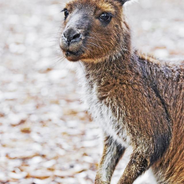 """""""Kangaroo portrait"""" stock image"""