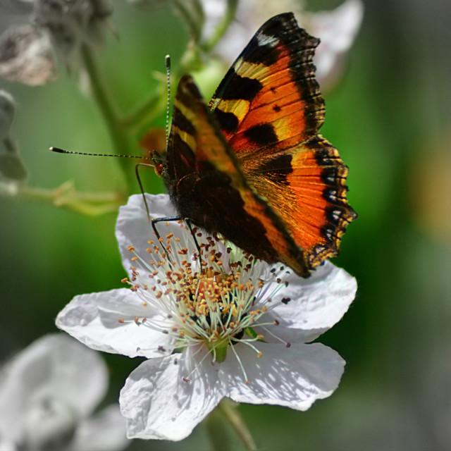 """""""Tortoiseshell Butterfly & Blackberry Flower"""" stock image"""