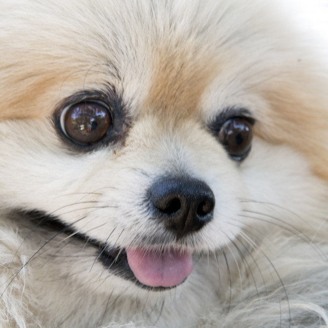 """Pomeranian dog"" stock image"
