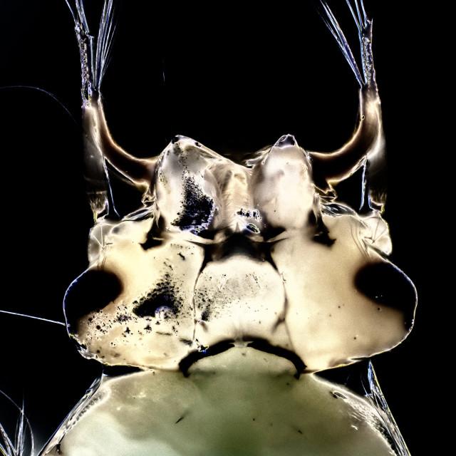 """Micro Photo of a Gnat Larva"" stock image"