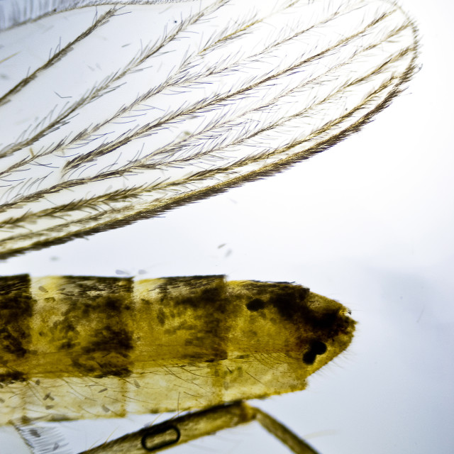 """""""Wing of a Mosquito"""" stock image"""