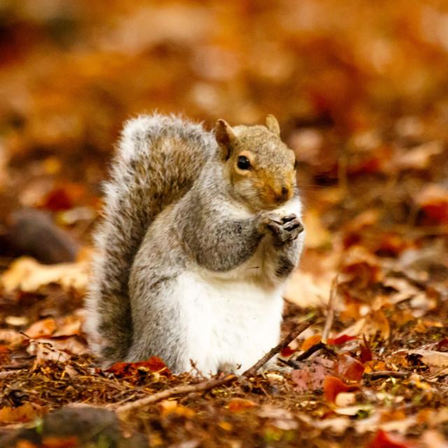 """""""Squirrel."""" stock image"""