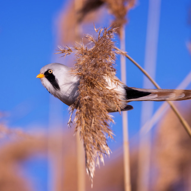 """Bearded tit on the reed, male"" stock image"