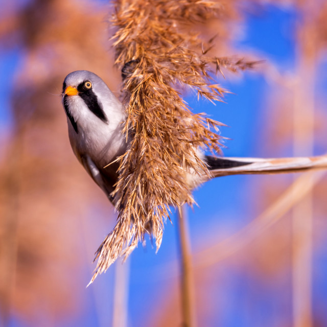 """""""Bearded tit on the reed, male - reedling (Panurus biarmicus)"""" stock image"""