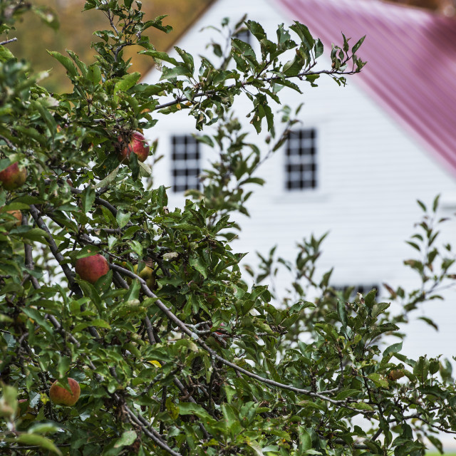"""""""Apple tree and Shaker house"""" stock image"""