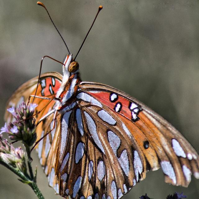 """""""Gulf fritillary butterfly"""" stock image"""