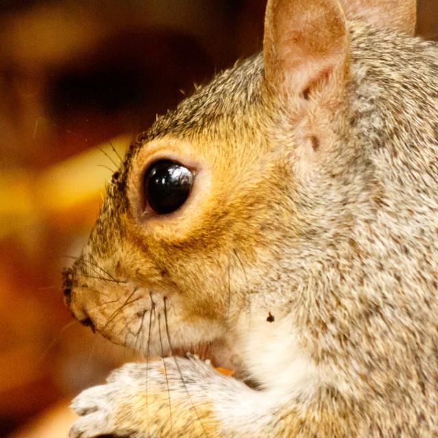 """""""Grey squirrel."""" stock image"""