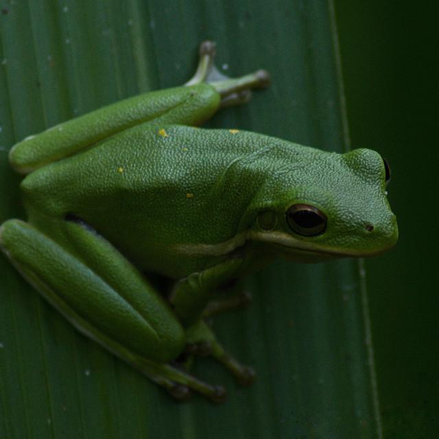 """Posing tree frog"" stock image"