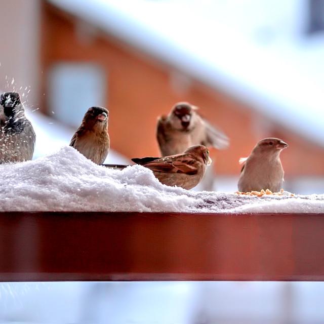 """Birds feeding in the snow"" stock image"