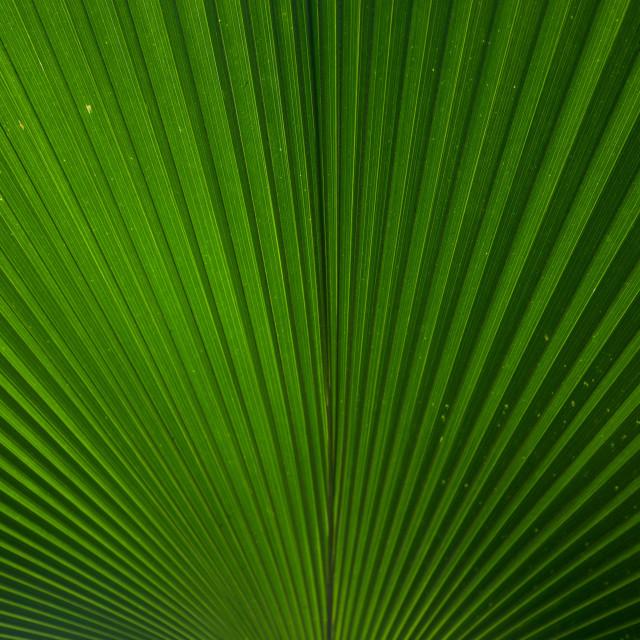 """Palm Leaf"" stock image"