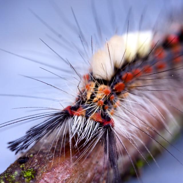"""Rusty Tussock Moth Caterpillar"" stock image"