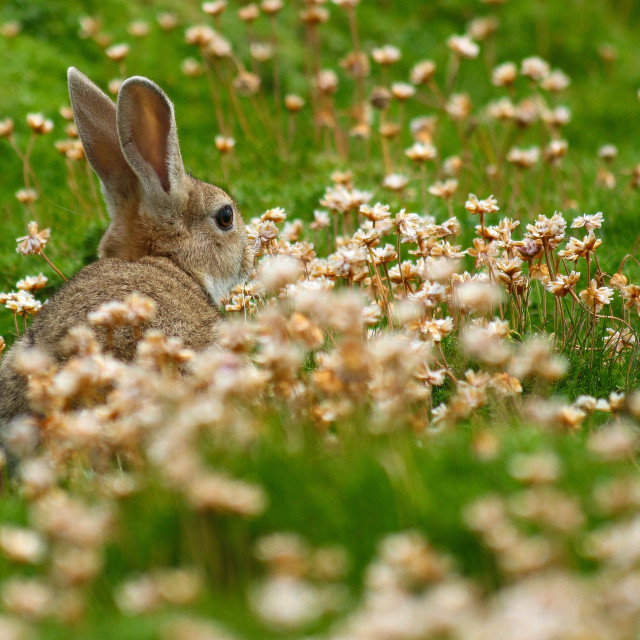 """Rabbit in the Grass"" stock image"