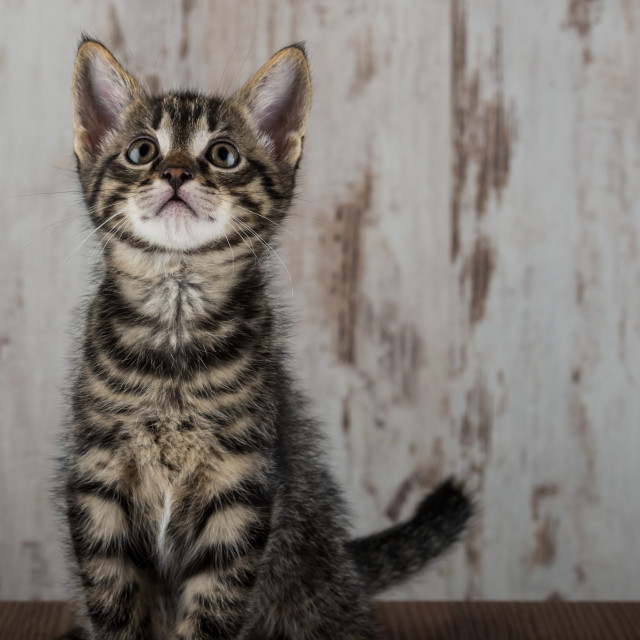 """Few weeks old tabby kitten tomcat on light wooden background"" stock image"