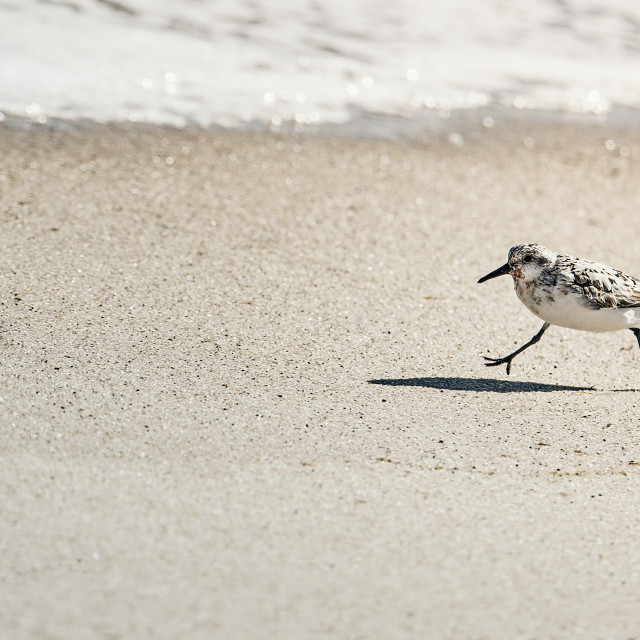 """Plover running along the beach"" stock image"
