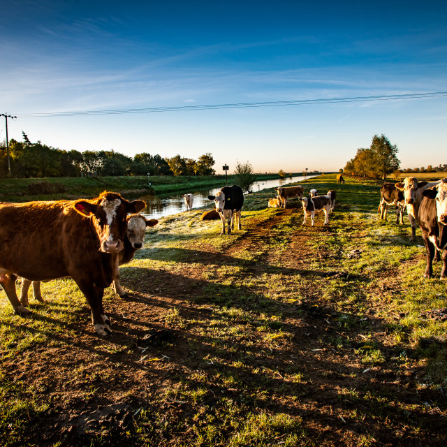 """""""Cattle"""" stock image"""