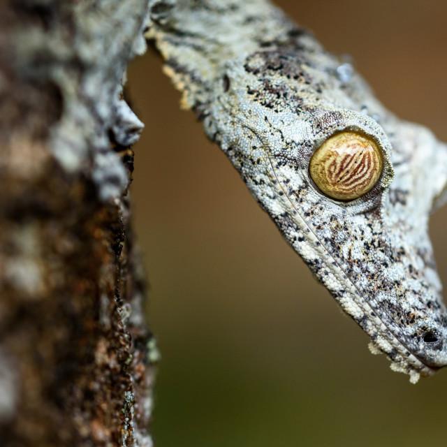 """Uroplatus gecko , Madagascar"" stock image"