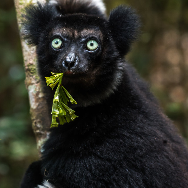 """Indri lemur in Rainforest , Madagascar"" stock image"