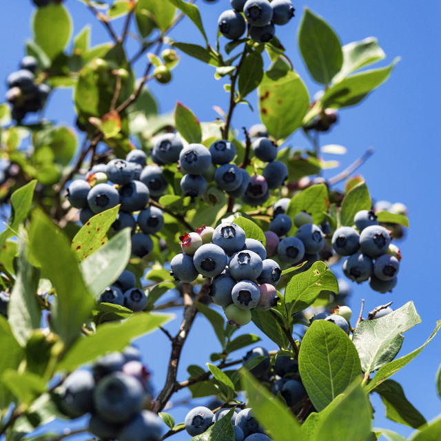 """Blueberry bush"" stock image"