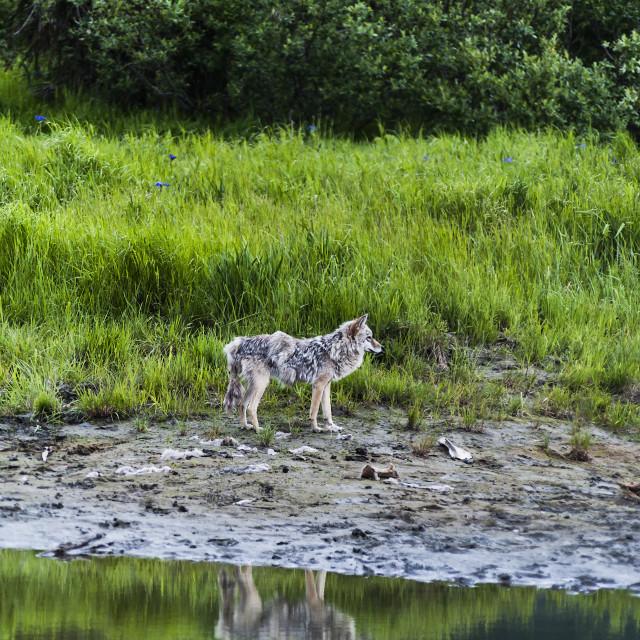 """Coyote Alaska"" stock image"