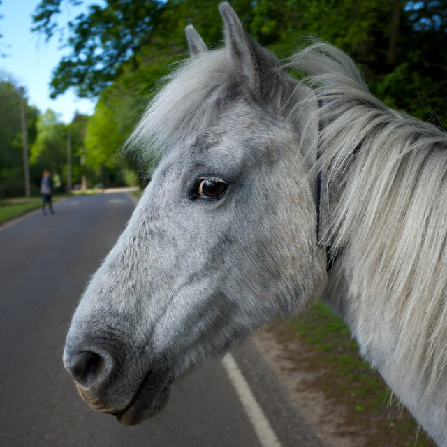 """""""Guilty New Forest Horse"""" stock image"""