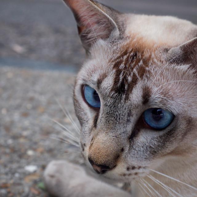 """""""Blue Eyed Cat"""" stock image"""