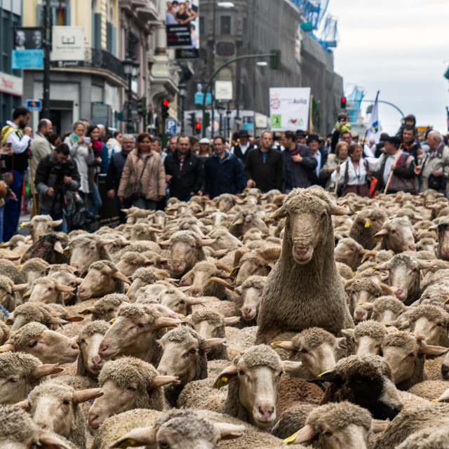 """Thousands sheep take the streets of Madrid"" stock image"
