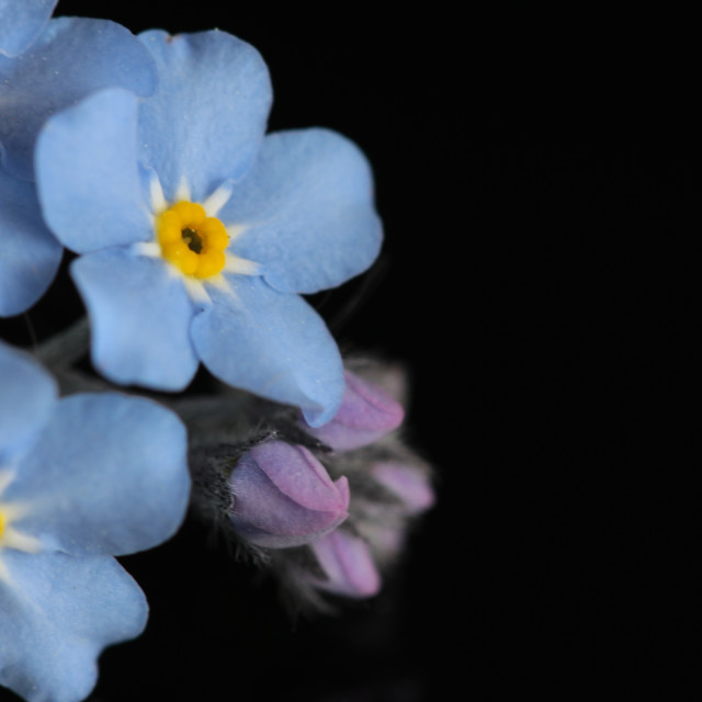 """Forget Me Not"" stock image"