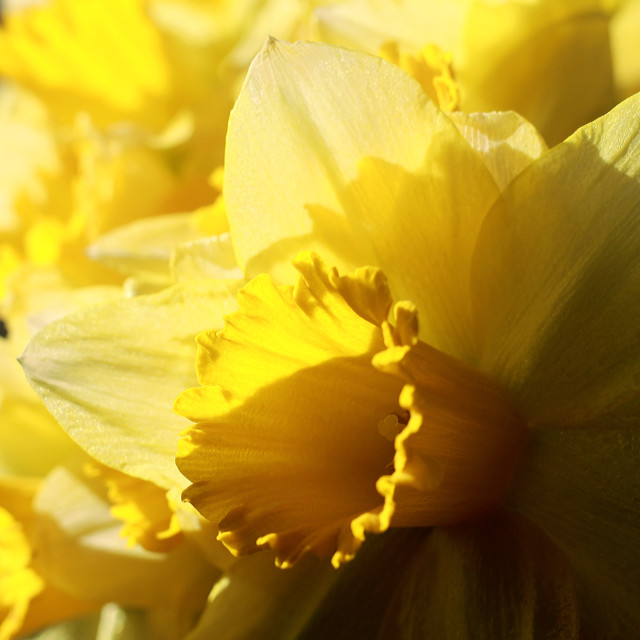"""Sunshine and Daffodils"" stock image"