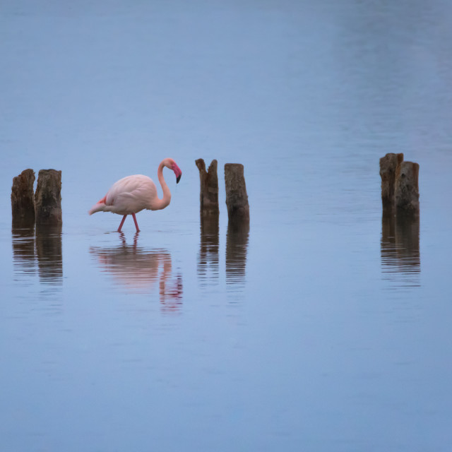 """framed flamingo"" stock image"