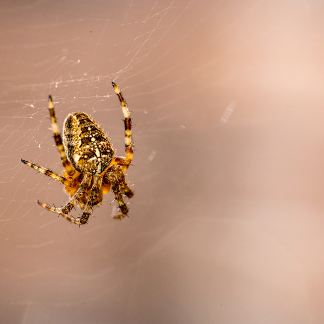 """European spider on web"" stock image"