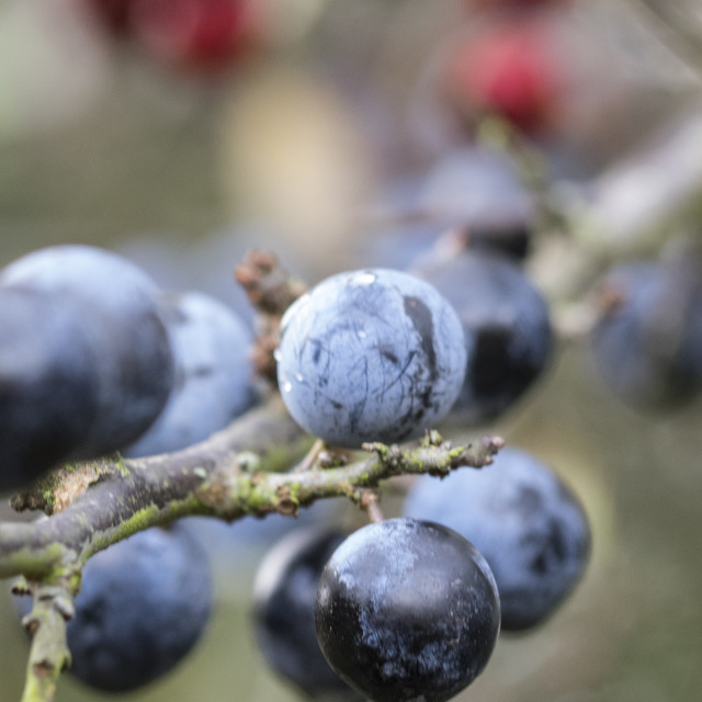 """Autumn Sloe Berries"" stock image"