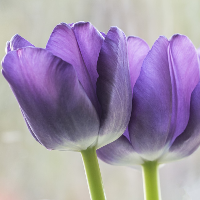 """Purple Tulips"" stock image"