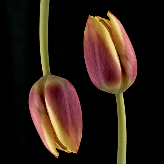"""Two Tulips"" stock image"