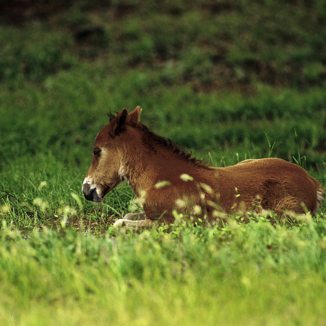"""""""Wild Spanish mustang foal laying in the grass. Outer Banks, North Carolina"""" stock image"""