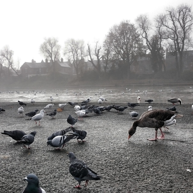 """Feeding birds on a cold morning in Belfast"" stock image"