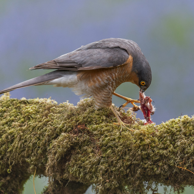 """Sparrow Hawk"" stock image"