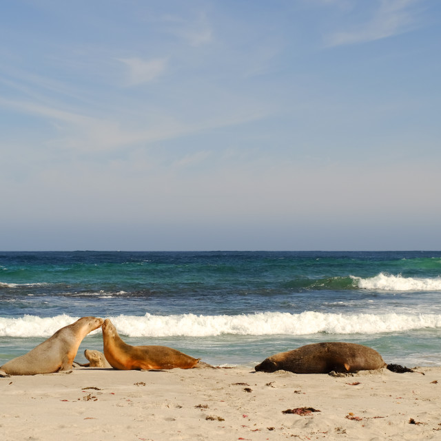 """Seals at Seal Bay in Kangaroo Island"" stock image"